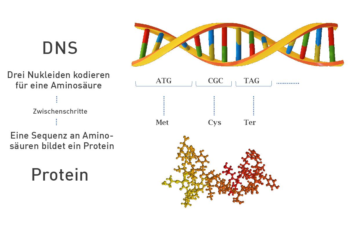 DNS-Protein